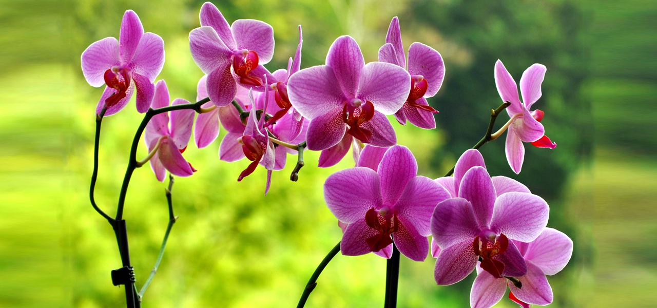 How to Fertilize Your Orchid Plants